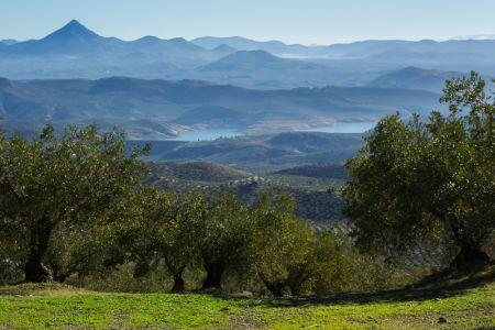 Mirada serena entre olivos